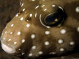 Closeup of a Whitespotted Puffer, Bali, Indonesia Photographic Print by Tim Laman