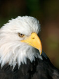 Close Portrait of a Bald Eagle, Alaska Photographic Print by Ralph Lee Hopkins