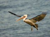 Brown Pelican in Flight, California Photographic Print by Tim Laman