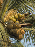 Coconuts Cluster at Los Tules Resort in Puerto Vallarta, Mexico Photographic Print by Rich Reid