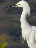 Closeup of a Snowy Egret, Sanibel Island, Florida Photographic Print by Tim Laman