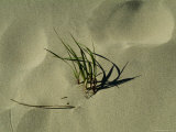 Blades of Grass on a New England Beach Photographic Print by Todd Gipstein