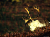 Caribou Bull Fotografie-Druck von Michael S. Quinton