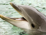Closeup of a Bottlenose Dolphin Photographic Print by Tim Laman