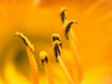 Close View of the Stamen of a Yellow Flower, Groton, Connecticut Photographic Print by Todd Gipstein