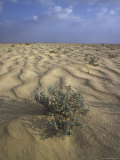 Bush Growing in the Middle of Egyptian Desert Fotografie-Druck von Richard Nowitz