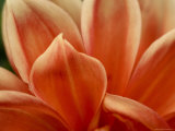 Close View of Petals of an Orange Flower, Groton, Connecticut Photographic Print by Todd Gipstein