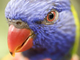 Closeup of a Rainbow Lorikeet, Singapore Photographic Print by Tim Laman