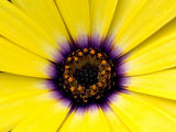 Close View of Osteospermum Flower in Bloom, Groton, Connecticut Photographic Print by Todd Gipstein