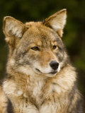 Closeup Portrait of a Captive Coyote, Massachusetts Photographic Print by Tim Laman