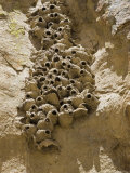 Cliff Swallow Nests at Entrance of Lizard Cave, California Photographic Print by Rich Reid