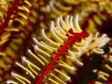 Close View of Arm of a Crinoid Feather Star, Bali, Indonesia Photographic Print by Tim Laman