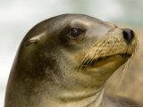 Closeup of a California Sea Lion Photographic Print by Tim Laman