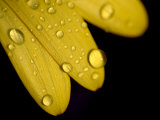 Close View of Water Drops on the Petals of a Yellow Flower, Groton, Connecticut Photographic Print by Todd Gipstein