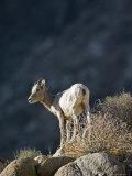 Closeup of a Desert Big Horn Sheep, California Photographic Print by Rich Reid