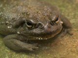 Colorado River Toad from the Henry Doorly Zoo, Omaha Zoo, Nebraska Photographic Print by Joel Sartore