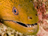 Closeup of a Giant Moray Eel, French Polynesia Photographic Print by Tim Laman