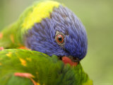 Closeup of a Rainbow Lorikeet Preening, Singapore Photographic Print by Tim Laman