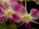Close View of a Pink Orchid Flowers, Groton, Connecticut Photographic Print by Todd Gipstein