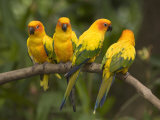 Closeup of Four Captive Sun Parakeets Photographic Print by Tim Laman