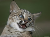 Bobcat at a Wildlife Rescue Member's Home in Eastern Nebraska Photographic Print by Joel Sartore