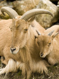 Captive Barbary Sheep, Native to North Africa Photographic Print by Tim Laman