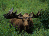 Bull Moose in Velvet, Alaska Photographic Print by Michael S. Quinton