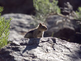 Closeup of a Golden-Mantled Ground Squirrel, California Lámina fotográfica por Rich Reid