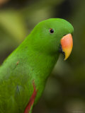 Closeup of a Male Eclectus Parrot Stampa fotografica di Tim Laman