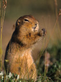 Arctic Ground Squirrel Feeds on Grass Seeds, Alaska Photographic Print by Michael S. Quinton