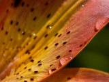Close View of a Daylily Covered with Dew Drops Photographic Print by Todd Gipstein