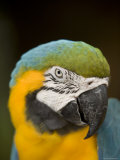 Closeup of a Captive Blue-And-Yellow Macaw Stampa fotografica di Tim Laman