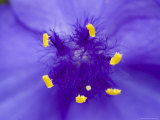 Close View of Stamen of a Blue Flower, Groton, Connecticut Photographic Print by Todd Gipstein