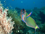 Closeup of a Brightly Colored Crescent Wrasse, Bali, Indonesia Photographic Print by Tim Laman