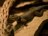 Collard Lizard from the Henry Doorly Zoo&#39;s Desert Dome, Omaha Zoo, Nebraska Photographic Print by Joel Sartore