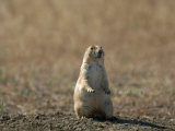 Black-Tailed Prairie Dog in Eastern Montana Photographic Print by Joel Sartore