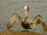 Brown Pelican with Wings Outstretched, California Photographie par Tim Laman