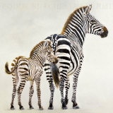 Zebre et Son Petit de Ndutu Posters by Danielle Beck