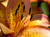 Close View of a Yellow Daylily in Bloom, Groton, Connecticut Photographic Print by Todd Gipstein