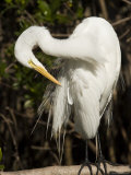 Closeup Portrait of a Great Egret, Sanibel Island, Florida Photographic Print by Tim Laman