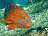 Closeup of a Blue-Spotted Grouper, Also Know as a Coral Hind, Bali, Indonesia Photographic Print by Tim Laman