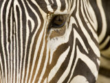 Closeup of a Grevys Zebra's Face Photographic Print by Tim Laman