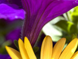 Close View of Purple Petunia and Yellow Symphony Osteospermum, Groton, Connecticut Photographic Print by Todd Gipstein