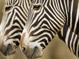 Closeup of Two Grevys Zebra's Faces Photographic Print by Tim Laman