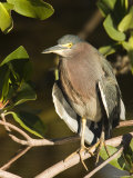 Closeup of a Green Heron on a Tree Branch, Sanibel Island, Florida Photographic Print by Tim Laman
