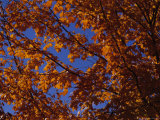 Autumn Leaves on a Tree, Washington, D.C. Photographic Print by Stacy Gold