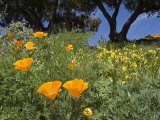 California Poppy Blooming in the Spring Photographic Print by Rich Reid