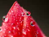 Close View of Drops of Water on a Red Rose Bud, Groton, Connecticut Photographic Print by Todd Gipstein