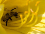 Close View of a Bee Collecting Pollen from the Stamen of a Flower, Groton, Connecticut Photographic Print by Todd Gipstein