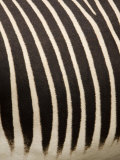 Closeup of a Grevys Zebra&#39;s Coat Photographic Print by Tim Laman